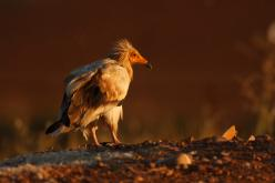 Alimoche - Egyptian vulture (PDF)