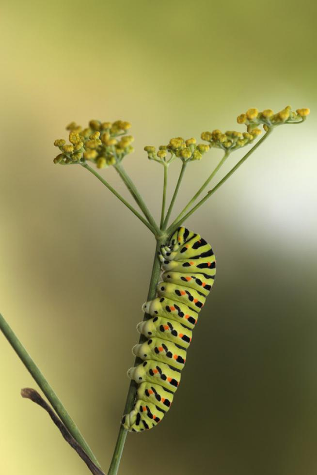 Oruga de Papilio machaon