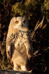 Búho real - Eagle Owl