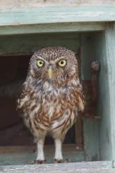Mochuelo - Little Owl