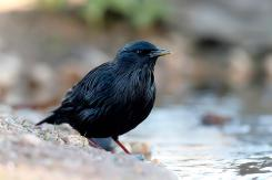 Estornino negro - Spotless starling