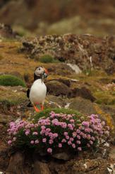 Frailecillo - Atlantic puffin