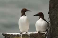 Arao común - Commond guillemot